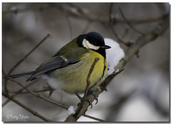 Great Tit (Betty Vlasiu) Tags: bird nature major tit wildlife great parus freedomtosoarlevel1birdphotosonly freedomtosoarlevel1birdsonly