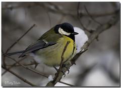 Great Tit (Betty Vlasiu) Tags: bird nature major tit wildlife great parus freedomtosoarlevel1birdphotosonly freedomtosoarlevel1birdsonly