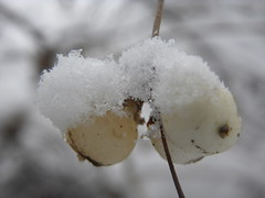 DSCN7867 (sarahamina) Tags: schnee winter white snow blanco austria sterreich berry berries nieve neve invierno blanche beeren inverno beere weiss bianco obersterreich autriche upperaustria weis innviertel mettmach sarahamina