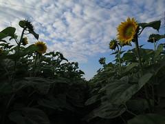 Sunflowers Fields, Vojvodina, Serbia, 2016 (kjoseph82) Tags: sky nature europe serbia east sunflowers vojvodina sunflowerfields