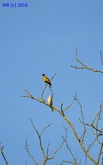 DSC_0104n wb (bwagnerfoto) Tags: sárgarigó oriolus pirol eurasian golden oriole madár vgel bird regöly outdoor nature fauna animal feeding