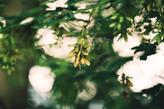 Look up to the sky.. ( Candice Lesage Austen ) Tags: plant tree green nature maple dof bokeh samara