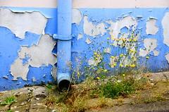 (Jean-Luc Lopoldi) Tags: bleu mur peinturecaille flakingoffpaint gouttire drainpipe weeds fleurs mauvaisesherbes trottoir