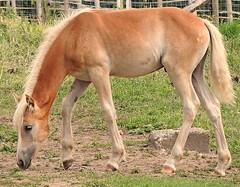 a young Italian foal (sabrina. G) Tags: haflingerpony gestt marling meran urlaub portrait spaziergang