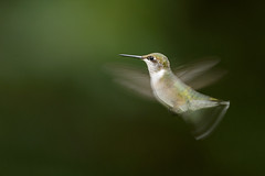 Hummingbird_40361-.jpg (Mully410 * Images) Tags: birdwatching blur hummer backyard flash bird birds birder birding offcameraflash hummingbird birdsinflight rubythroatedhummingbird