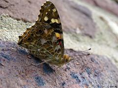 Distelfalter (Vanessa cardui) (MacroManni) Tags: deutschland germany nrw rheinerftkreis schmetterling falter tagfalter butterfly papillon makro macro insekten insects distelfalter