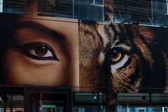 Duality (Gary Kinsman) Tags: camden canon5dmkii canoneos5dmarkii canon70300mm telephoto zoom london camdentown camdenroad nw1 streetphotography bus tfl camdencoffeehouse 2016 advert advertising eyes duality woman tiger human beast reflection layers