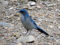 Woodhouse's Scrub-Jay (tedell) Tags: woodhouses scrubjay grandview campground white mountains inyo county california august 2016 bird