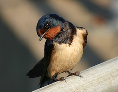 Swallow (Peanut1371) Tags: swallow bird red white blue nationalgeographicwildlife