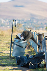 Monkey stealing trash in South Africa (philipp.alexander.ernst) Tags: south africa krger national park safari monkey trash stealing