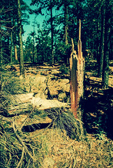 The last days of Eximus (kevin dooley) Tags: eximus eximuswideslim 35mm film plasticcamera lomo lomography xpro crossprocessed tempecamera mogollon rim az arizona pine forest