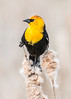 Yellow Headed Blackbird Series 3 (Patti Deters) Tags: bird yellowheadedblackbird yellow perched black tan songbird one single wild wildlife nature animal sitting male pussywillow cattail reeds marsh swamp song xanthocephalus yellowheaded small blackbird colorful colourful headed vertical art blurredbackground copyspace stock lobby office interiordesign