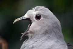 Sunda Green Imperial-Pigeon (James L Taylor) Tags: lotherton hall bird garden 29816 august bank holiday weekend leeds sunda green imperialpigeon ducula aenea