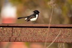 Willie Wagtail (Luke6876) Tags: williewagtail wagtail fantail bird animal wildlife australianwildlife