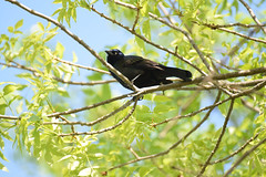 Goose Island county park (turn off your computer and go outside) Tags: 2016 commongrackle countypark gooseisland lacrossecounty may wi wisconsin bird critter nature outdoors spring springtime sunnyday warm westernwisconsin