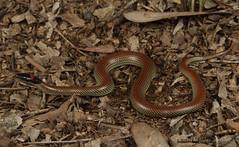 Red naped snake (Furina diadema) (Jordan Mulder) Tags: red naped snake wildlife reptile elapidae hunter valley furina diadema