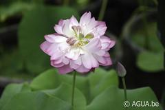 DSC_8156 (Waterlelie.be) Tags: azi china chonburi drnopchaichansilpa mangkalapatum nelumbo nelumboeastlakepink thailand
