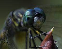DragonFly_SAF9601-1 (sara97) Tags: copyright2016saraannefinke dragonfly flyinginsect insect missouri mosquitohawk nature odonata outdoors photobysaraannefinke predator saintlouis towergrovepark urbanpark