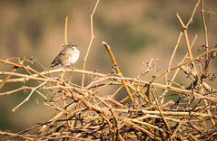 Chincol (Luis Prez Corts) Tags: chincol ave bird sonya58 wildlife outdoor airelibre animales