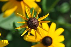sunny flower days (ladybugdiscovery) Tags: rudbeckia browneyedsusan flower garden yellow brown sunny