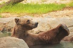 Bath Time @ Riverbanks Zoo (hennessy.barb) Tags: grizzly grizzlybear bath bathing riverbankszoo columbiasc zoo bear playful mammal predator
