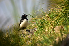 Willie Wagtail (Luke6876) Tags: williewagtail wagtail bird animal wildlife australianwildlife