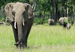 Elephants, at Govenors Camp, Masai Mara, (welloutafocus) Tags: africa kenya