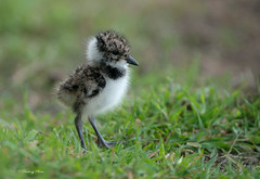 Lapwing chick -Vanellus vanellus. Uk (PANDOOZY PHOTOS) Tags: lapwing vanellusvanellus vanellus wader bird gb waders wading charadriidae charadriiformes wildlife nature vanellinae summer small cute sweet chick young juvenile baby ground grass uk chicks
