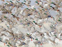 Mallard Ducks (Steve Gifford - IN) Tags: 2016 hilook proposal lens cloth steve steven gifford haubstadt indiana