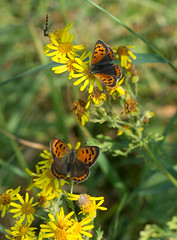 Small coppers (gillian.pullinger) Tags: butterfly butterflies smallcopper lepidoptera wildlife nature hampshire