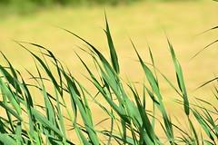Blowing in the wind (Terje Hheim (thaheim)) Tags: wind windy straws summer nikon nikond7100 d7100 70200mmf28gvr