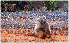 Cape of Good Hopes - South Africa (lagergrenjan) Tags: cape good hopes south africa baboons