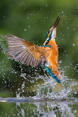 Kingfisher - Scotland (Mr F1) Tags: kingfisher johnfanning fishing hunting scotland light detail flight bif birdsinflight alcedoatthis alcedines water wings colour colourful color colorful uk electricblue