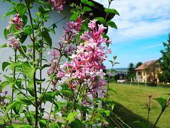 pink flower (oxyrhynchos - OLOliuqui) Tags: flower flora blume pink garden nature  kwiat flor