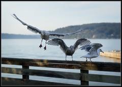 Flaps Down (Ernie Misner) Tags: bif birdsinflight birds thebirds birdsdancingcontest gull seagull washington erniemisner nikon d800 85mmf18 nik cnx2 capturenx2 f8andbethere