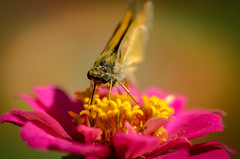 Skipper Butterfly (Nikonian Annapolitan) Tags: skipper butterfly eyes compound flower stamen pollen pink yellow nikon d7000 tube wings plant