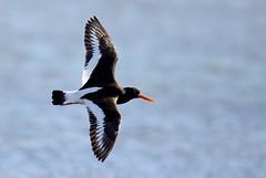 Oystercatcher in flight (BitRogue) Tags: nikon d800 sigma 150600mm sport capturenx2 blakeneypoint templesealtrips norfolk bird oystercatcher