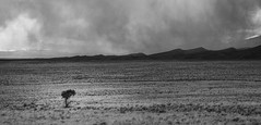Solitary (aaronncollier96) Tags: tree desert alone lonely solitary deserted rain snow sleet storm sand dunes national park great nikon d750 weather bw black white landscape nature