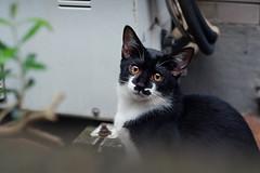 (  / Yorozuna) Tags:     straycat alleycat cat   blackandwhite   mammal    wakamatsukawada  tokyo japan pentaxautotakumar55mmf18