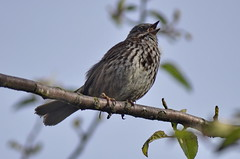 Song Sparrow (glenbodie) Tags: glen bodie glenbodie dncb serpentine 201417 song sparrow