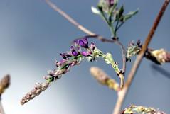 Wisteria (StaceyA42) Tags: purple wisteria