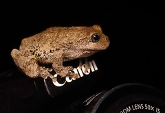 Gray tree frog - Staten Island, New York (superpugger) Tags: frog amphibian treefrog amphibians frogs statenisland herptiles herping newyorkcitywildlife statenislandwildlife graytreefrog canonpowershotsx50hs canonef100mmf28lmacrois hyla hylaversicolor nightwildlifephotography