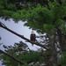 Bald Eagle in Somesville, Maine (Mount Desert Island) *EXPLORED*