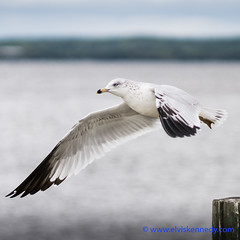 Fall into Winter - Equinox to Solstice #6 - Gull (elviskennedy) Tags: 85 a7 a7r a7rii a7rm2 animal aviary batis batis85 beak bill bird coldlight elvis elviskennedy eye fall fallintowinter feathers flight fly flying fonddulac freshwater gull kennedy lake lakewinnebago larus larusdelawarensis migrate migration nature outdoor outside plumage portrait ring ringbilled ringbilledgull scavenger scenic shore soybeans waves wi wing wings wisconsin wwwelviskennedycom