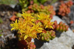Into the Sedum Zone (Sotosoroto) Tags: dayhike hiking washington cascades mountains silverpeak flower sedum