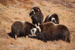 _MG_8052.jpg (qitsuk) Tags: greenland kangerlussuaq arctic muskox wildlife