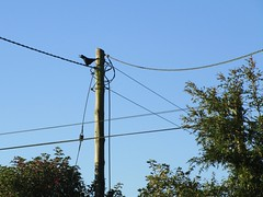 Good morning Mr Rook (JulieK (finally moved to Wexford)) Tags: htt rook telegraphtuesday telegraphpole wire trees bluesky bird canonixus170 2016onephotoeachday