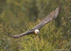 Bearded Vulture (Gypaetus barbatus) (www.mikebarthphotography.com 1M + Views thanks !) Tags: birds ethiopia gypaetusbarbatus beardedvulture
