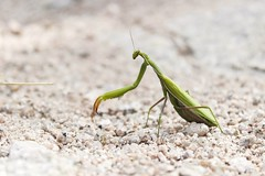 Mantis (Sara Alvarez.) Tags: mantis nature
