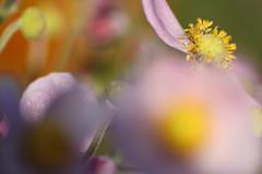 dream of colors (Xtraphoto) Tags: anemone japanische blume rosa flower color colors farben farbenspiel bokeh